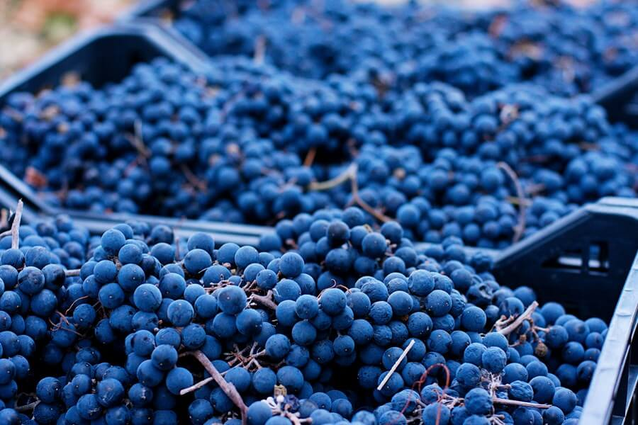 Beautiful baskets of grapes, displaying the vibrant blues of the grape skins!