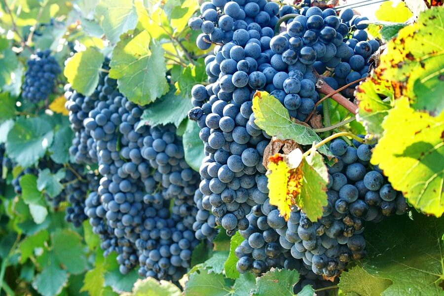 With tight clusters of amazing blue grapes, displaying perfectly the grape vine plant!