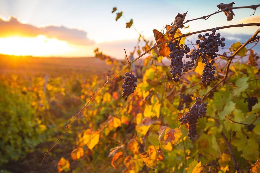 An amazing scene of a beautiful Venezuelan vineyard illuminated in the sunset, ready to make Venezuelan wines!