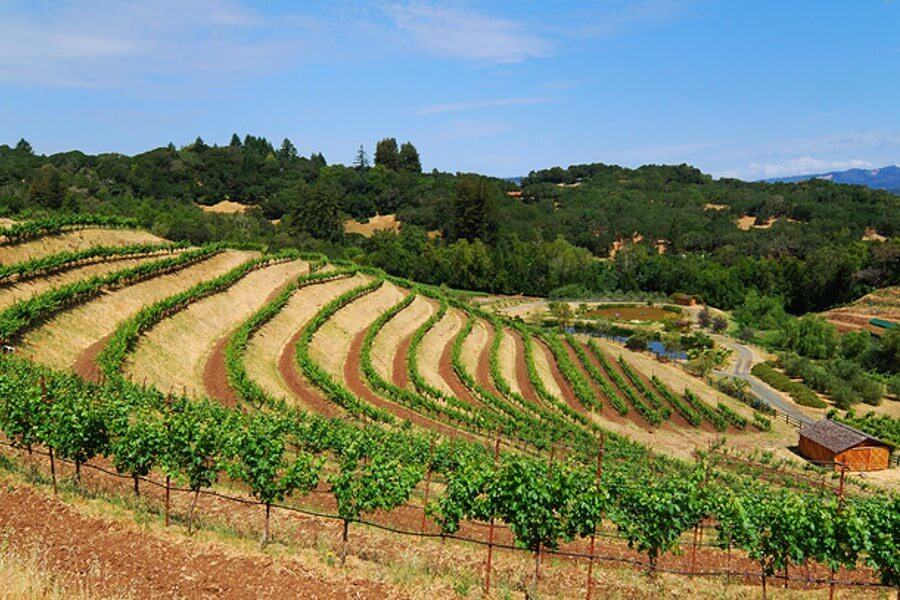 A segment of a vineyard upon the side of a hill displaying the beauty of Californian Wineries