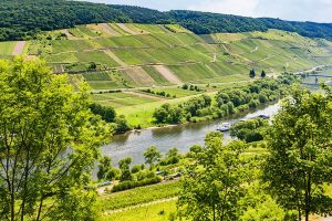 Beautiful green German vineyards ready to be harvested to produce amazing German Wines!