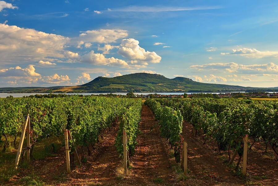 A beautiful vineyard in the czech republic ripe for picking to produce amazing czech wines!